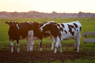 Le nom des animaux en breton : la vache (saout)